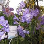 Chiangmairoyalflora10