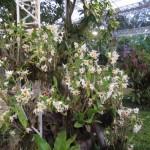 Chiangmairoyalflora11