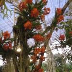 Chiangmairoyalflora14